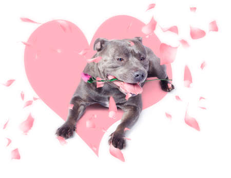 puppy love: Romantic dog carrying pink rose in mouth when giving the gift of love on valentines day. Puppy love concept Foto de archivo