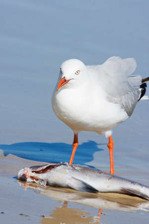 finds: Seagull Finds A Washed Up Fish On A Beach Shoreline