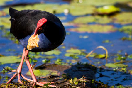 scavenge: Coot Bird Holding A Rather Large Piece Of Multigrain Bread Stock Photo