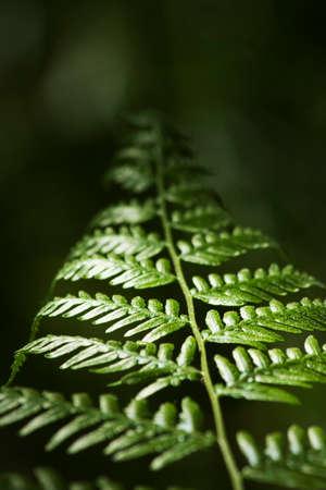 tropical native fern: Low Depth Of Field On An Australian Native Bracken Fern (Pteridium Esculentum) Growing In A Low Light Environment Surviving From Light Rays Piecing The Forest Canopy Lighting The Bracken Ferns Fronds