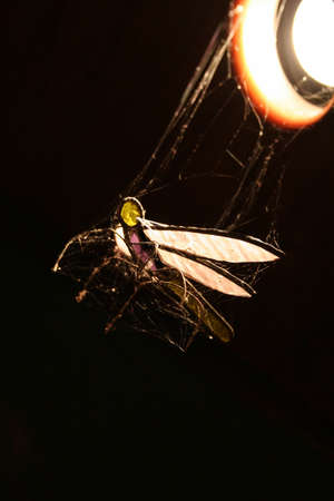 morsel: Dragonfly Ornament Prey Caught In A Spiders Web