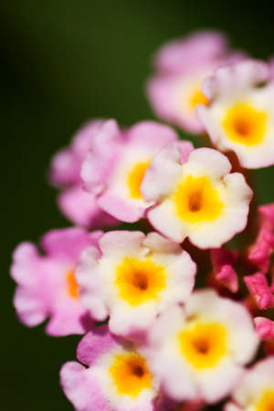 flower close up: Focus On The Botanical Bloom Of Many Tiny Colourful Macro Flowers