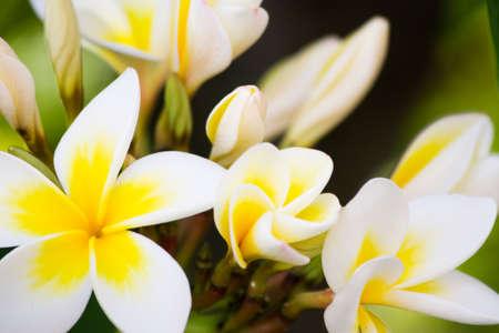 yellow flower tree: Flowering Yellow Frangipani Flower also known as Plumeria or Temple Tree Stock Photo