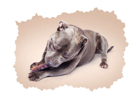 oblivious: Portrait of a beautiful purebred blue staffordshire bull terrier lying gnawing contentedly on a chewy treat oblivious to the camera on an artistic beige background with a wavy edge