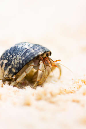 marinelife: Harry Hermit Crab Taking A Leisurely Stroll On The Shorelines Of Phi Phi Island Thailand Stock Photo