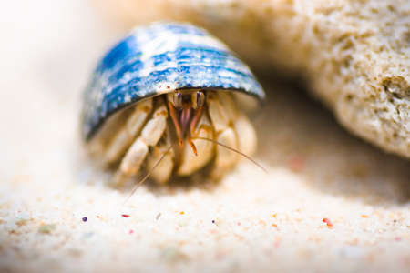 occupying: Macro On A Crustacean Hermit Crab Hiding In His Blue Shell On A Sandy Beach Shoreline