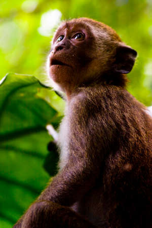 mesmerized: A Monkey Stares Above In An Awe Inspiring Expression