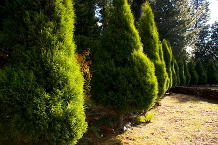 tasmanian: Closeup On Vibrant Green Tasmanian Pencil Pine Trees