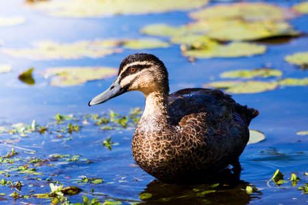 crouches: Brown Duck Crouches At A Pond Location
