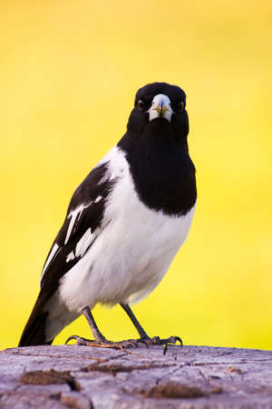pecker: Mr. Magpie Standing On A Wooden Fence Post Behind The Sunset Of Another Farmyard Day