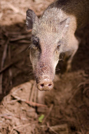 snout: Wild Boar With Dirty Snout In A Muddy Pig Pen Stock Photo