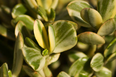 fleshy: Jades are evergreen plants with thick branches and smooth, rounded, fleshy leaves that grow in opposing pairs along the branches. Stock Photo