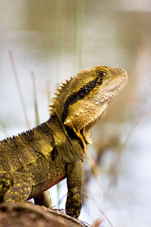 frilled: Australian Reptile - The Eastern Water Dragon, (Physignathus lesueurii) Watching With One Eye At A Pondside Location