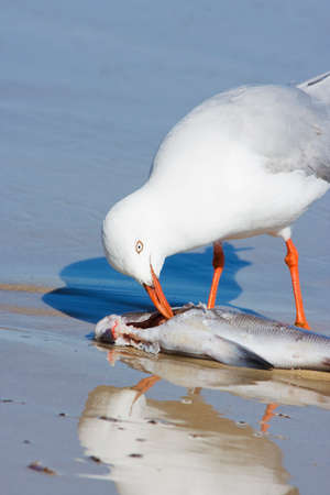 poking: Natures Pecking Order Finds A Hungry Larus Novaehollandiae Poking At A Washes Up Fish Stock Photo