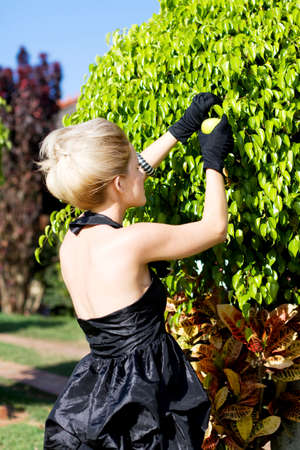 formal dress: Rear Side View Of Young Woman In Formal Dress Picking Fruit From Leafy Green Bush Stock Photo