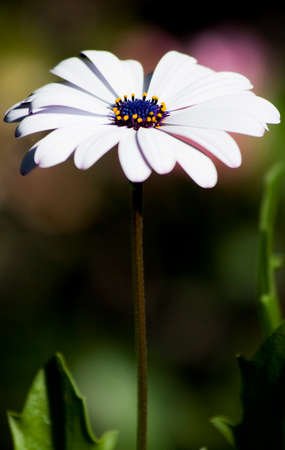 upclose: Macro On A Purple Daisy Growing In A Grassy Field Stock Photo