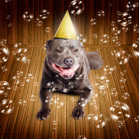 pedigreed: Partytime for a beautiful blue pedigreed staffordshire bull terrier dog on his birthday or New Year lying smiling on a wood floor wearing a conical party hat surrounded by iridescent floating bubbles Stock Photo