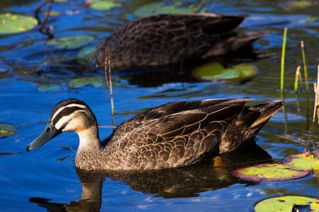 platyrhynchos: Brown Duck (Anas Platyrhynchos) Also Known As Mallard Duck Drifiting On A Blue Lagoon