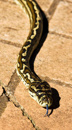 slithering: Slithering Snake Lumbers Up A Paved Path