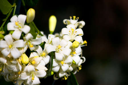 philadelphus: Focus On The Creamy White Flowers Found On A Orange Jessamine