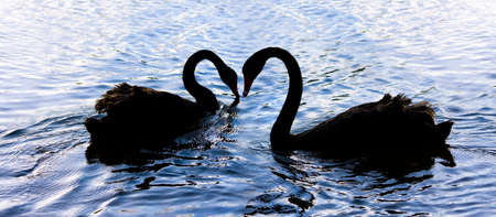 captivate: Silhouetted Elegance Is The Romantic Dance From Love Birds On Swan Lake Stock Photo