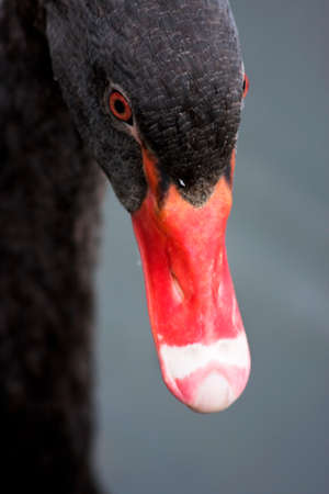 long neck: Close Up On A Black Swans Facial Features Stock Photo