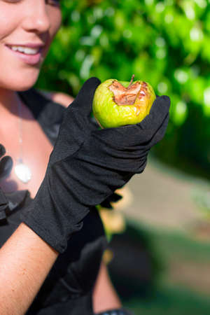 rotten fruit: Rotten Fruit Concept With A Gloved Hand Of A Attractive Young Woman Holding A Rotten Apple