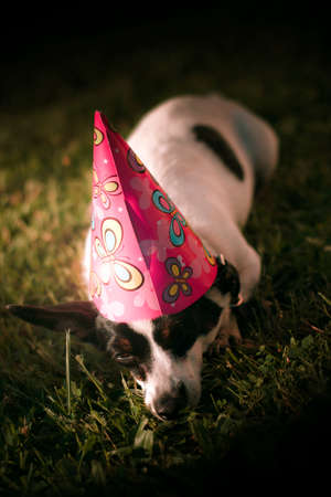 single animal: Adorable, Animal, Background, Birthday, Celebration, Closeup, Colorful, Colourful, Conical, Cute, Details, Dog, Exhausted, Fatigued, Grass, Hat, Looking, Looks, Lovable, Lying, Mammal, One, Outdoors, Outside, Party, Pet, Resting, Rests, Single, Tired