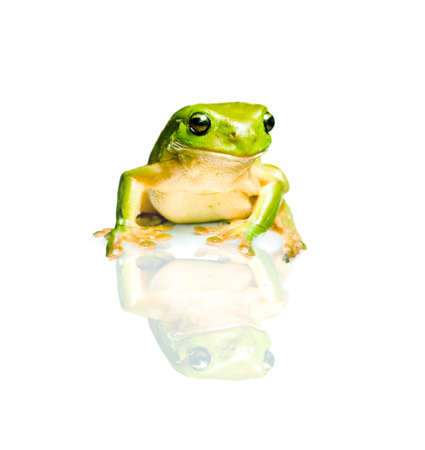 green tree frog: Studio Photo Of The Australian Green Tree Frog (Litoria Caerulea) Isolated On White Background With Reflection