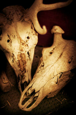 morbidity: Still Life In Still Death: Two Cattle Skulls Placed Together In Close Approximation