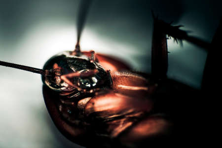 sickly: Roach Faces Death While Lying On His Back Stock Photo