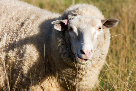 sheepy: Sheep Feeds On The Grass From A Farmyard Field