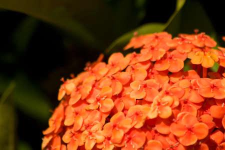 species living: Popular Garden Plant The Ixora Also Know As Bungan Soka