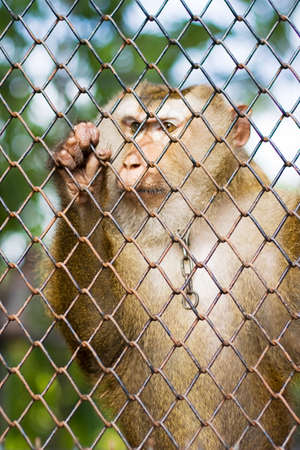 expressed: Sadness In Captivity Is Expressed In The Eyes Of A Monkey Clutching To A Wire Fence Enclosure Watching In State Of Despair