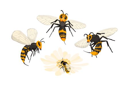Murder Hornet invasion.  mandarinia. Asian giant hornets viciously attacked honey bee pollinating a flower.  on white, cartoon style.