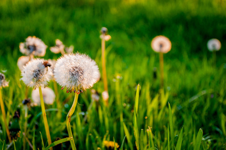 Dandelions In   1040; Meadow At Sunset photo