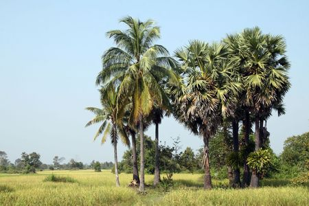 Palm trees in Cambodian countryside photo