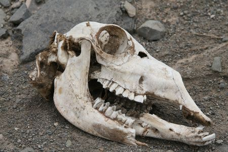 mortal: A skull of a guanaco on a sandy, dry background
