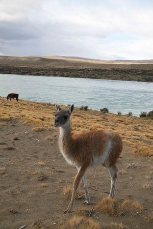 guanaco: Guanaco in the Patagonian steppe near El Calafate in Argentina