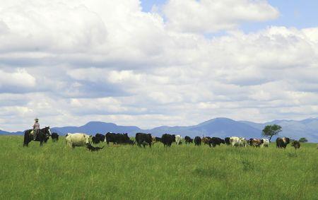 in herding: Unrecognisable female gaucho herding cows near Salta in North West Argentina Stock Photo