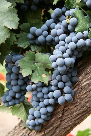 Trauben in einem Weinberg in Mendoza, Argentinien Standard-Bild - 4443232