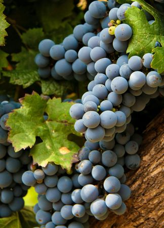 Grapes in a vineyard in Mendoza, Argentina photo
