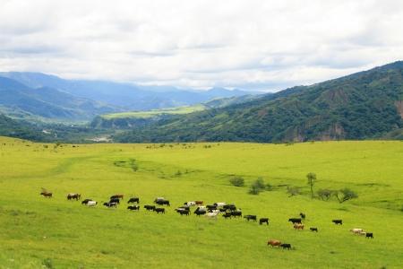 Cattle grazing on a green field near Salta, Argentina Standard-Bild