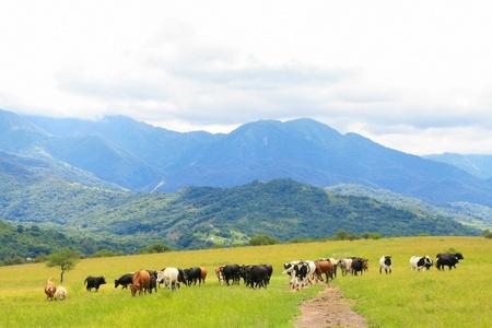 Cattle grazing on a green field near Salta, Argentina Stock Photo