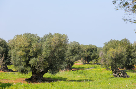 south italy: Olive garden with green grass near Ostuni, Puglia, South Italy. Stock Photo