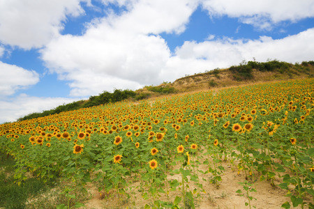 Beautiful sunflower landscape in Gesaltza Anana, Basque Region, Spain.