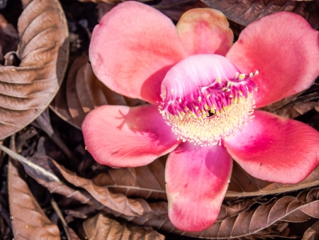 annals: A beautiful macro shot of a Cannonball Tree flower  Couroupita guianensis