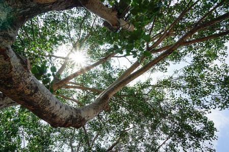 sky brunch: The biggest tree