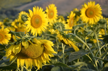 phillip rubino: Sunflower in sunny summer day