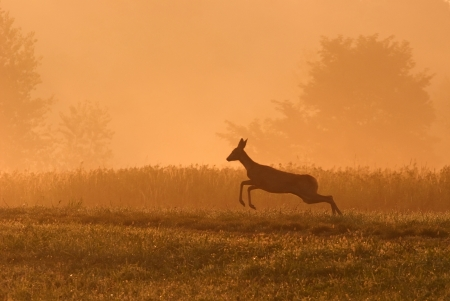 Deer running in nature at daybreak Stock Photo